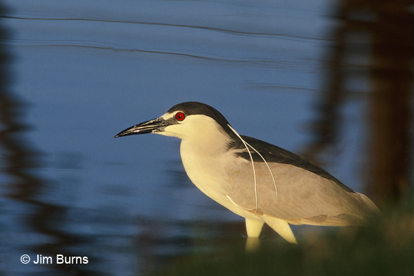 Black-crowned Night-Heron trolling for breakfast