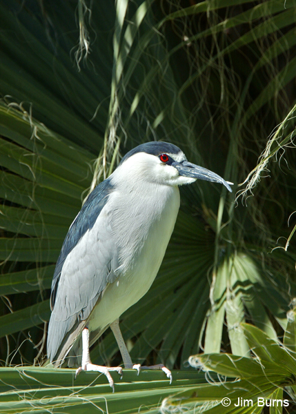 Black-crowned Night-Heron with injured bill