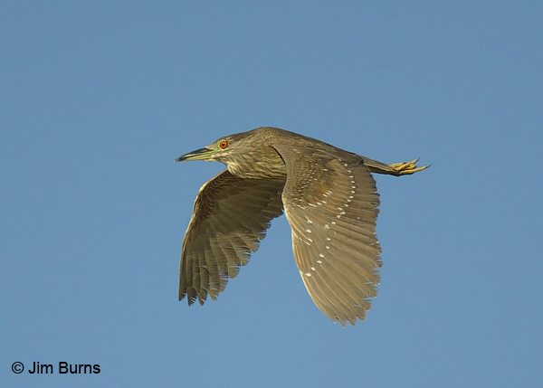 Black-crowned Night-Heron juvenile in flight