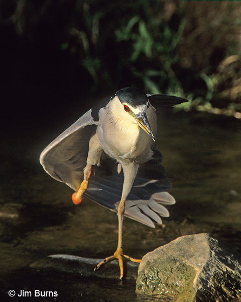 Black-crowned Night-Heron with missing foot
