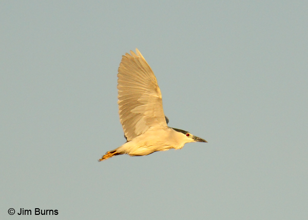 Black-crowned Night-Heron adult in flight #2