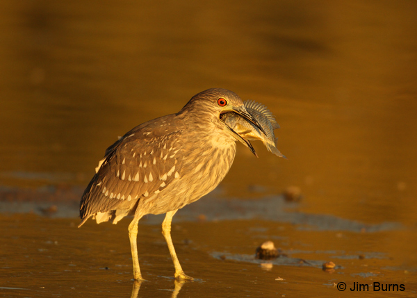 Black-crowned Night-Heron juvenile with fish