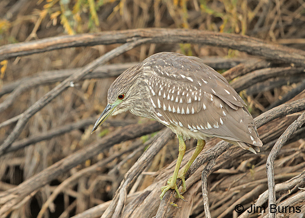 Black-crowned Night-Heron juvenile