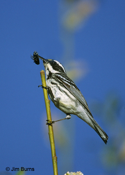 Black-throated Gray Warbler female with Cervid Fly