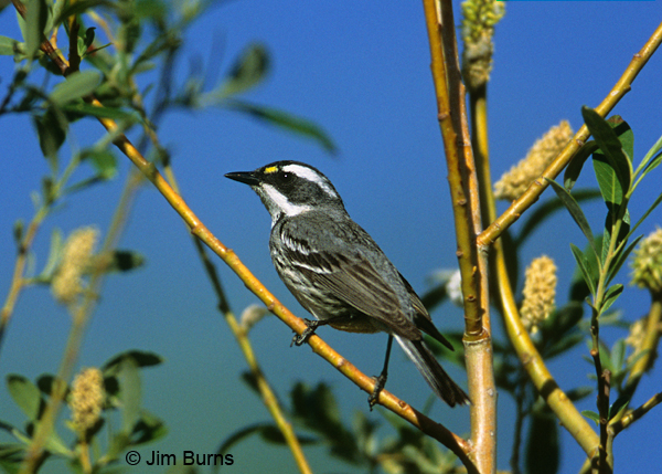 Black-throated Gray Warbler female