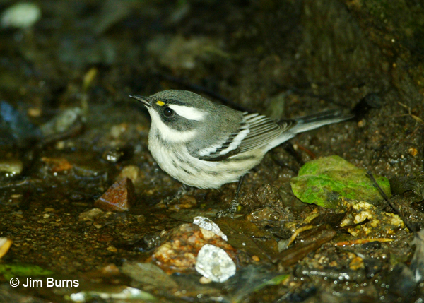 Black-throated Gray Warbler first fall male