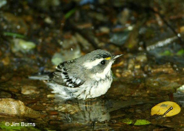 Black-throated Gray Warbler first fall male bathing