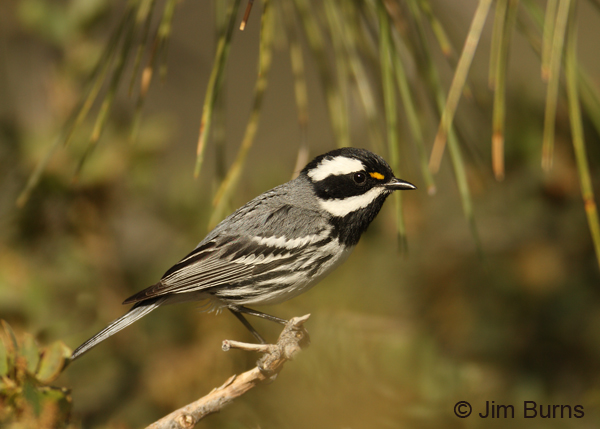 Black-throated Gray Warbler male horizontal