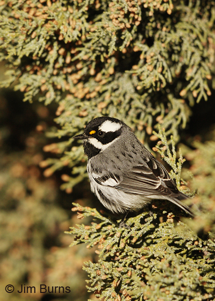 Black-throated Gray Warbler male vertical