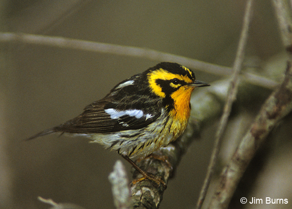 Blackburnian Warbler male after bathing