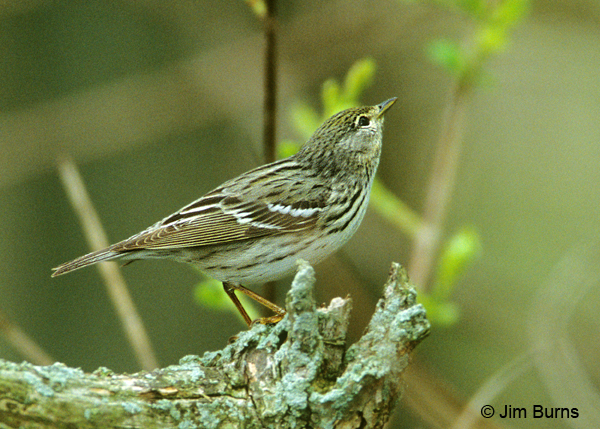 Blackpoll Warbler female
