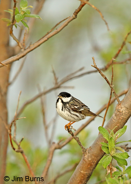 Blackpoll Warbler male in willows