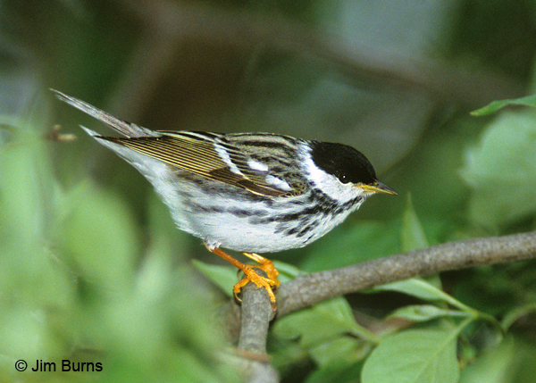 Blackpoll Warbler male