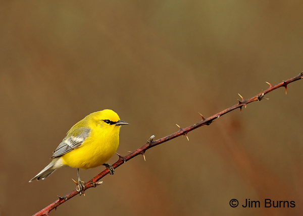 Blue-winged Warbler male and thorns