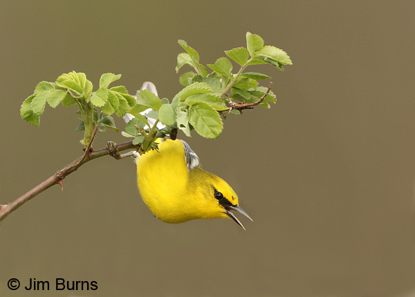 Blue-winged Warbler male singing from bush