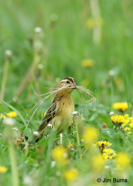 Bobolink female with nesting material #2