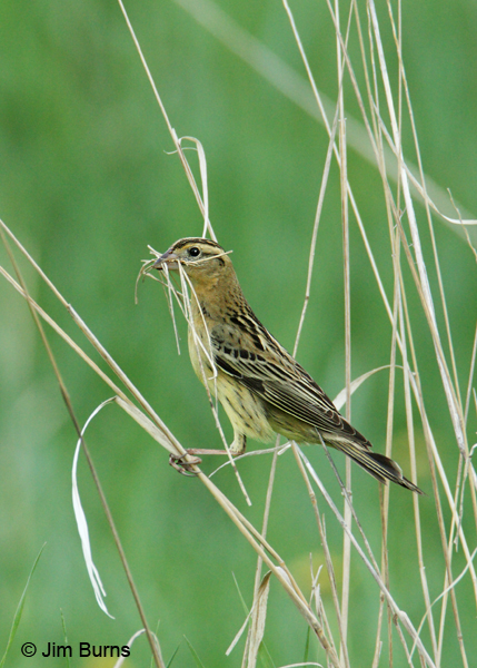 Bobolink female with nesting material