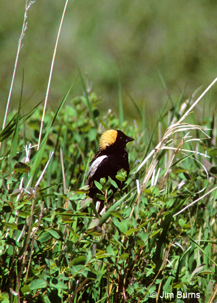 Bobolink male breeding