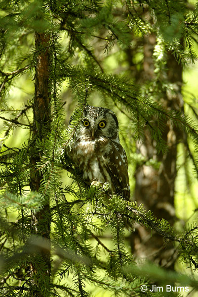 Boreal Owl daywatcher