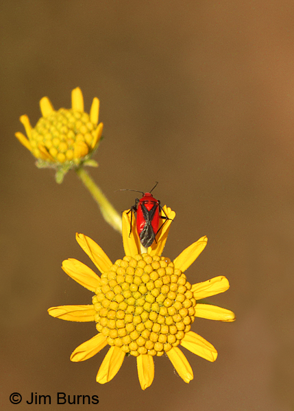 Brittlebush with red and black bug, Arizona