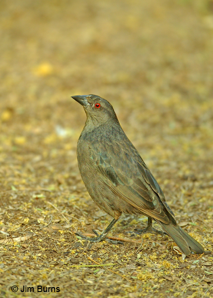 Bronzed Cowbird female