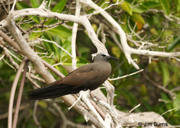 Brown Noddy in mangroves