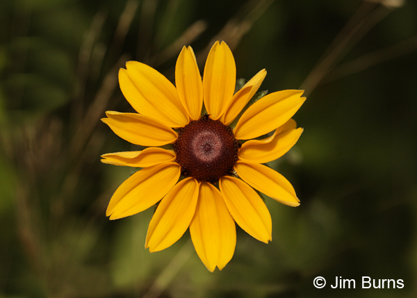 Brown-eyed Susan, Oklahoma