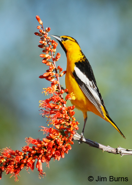 Bullock's Oriole male on Ocotillo