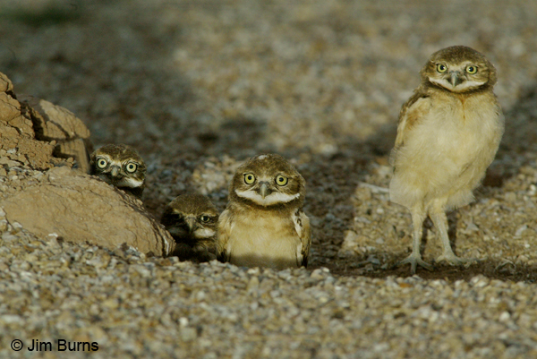 Burrowing Owl 4 siblings