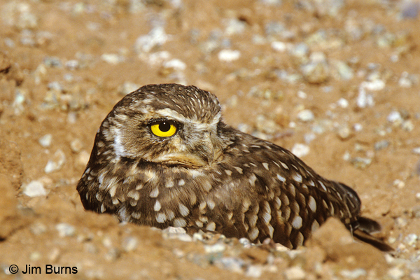 Burrowing Owl at burrow
