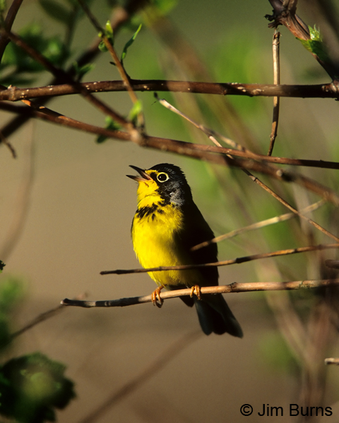 Canada Warbler male singing