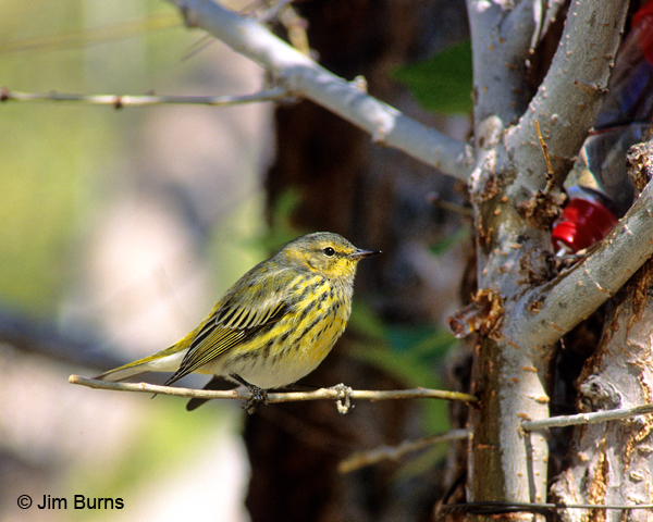 Cape May Warbler first fall male at hummingbird drip
