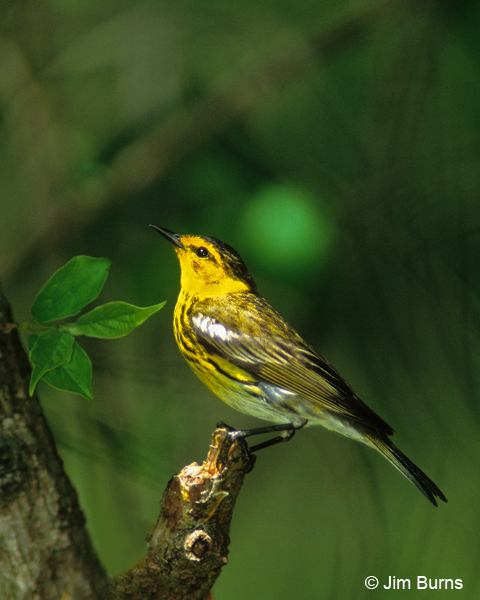 Cape May Warbler male profile