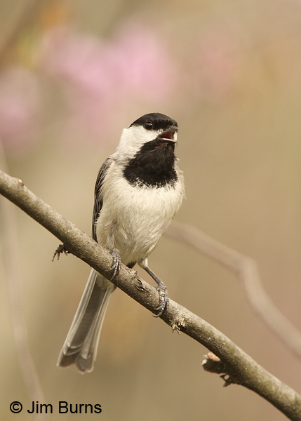 Carolina Chickadee calling