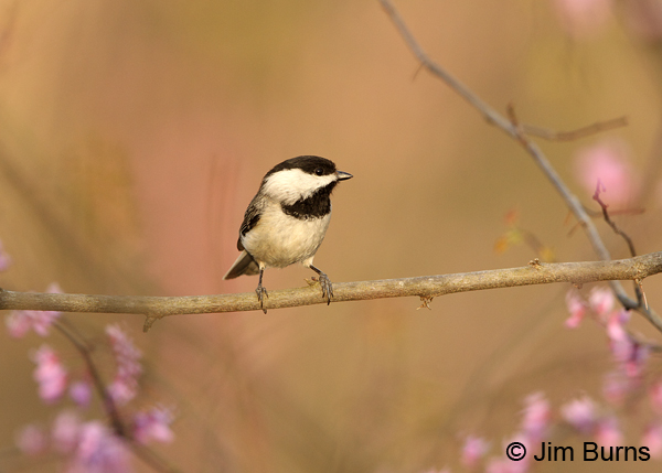 Carolina Chickadee in Redbud