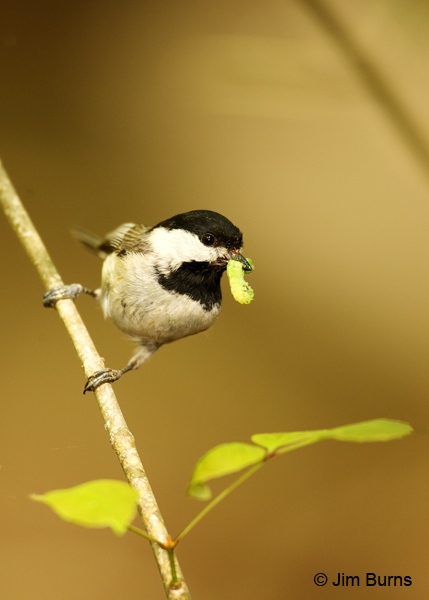 Carolina Chickadee with caterpillar