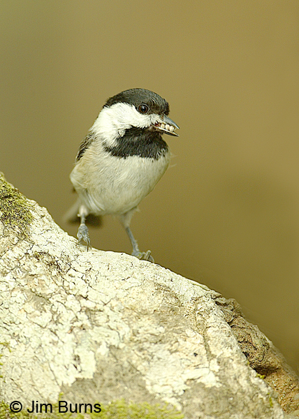 Carolina Chickadee with egg sacs