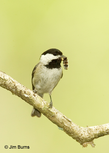 Carolina Chickadee with worm
