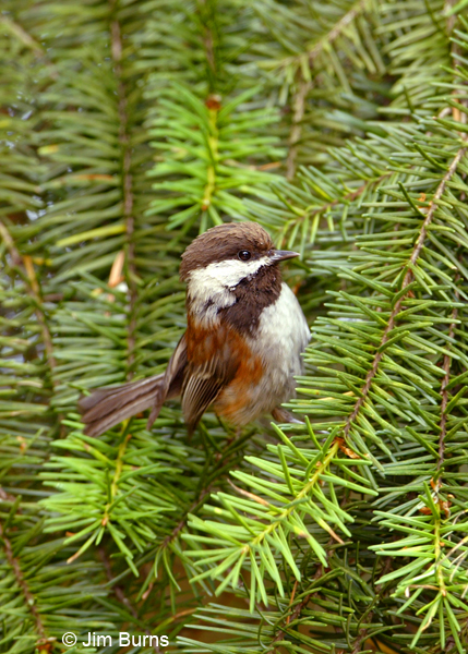 Chestnut-backed Chickadee close-up