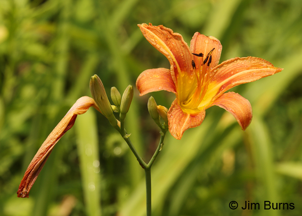 Common Day Lilies, Pennsylvania