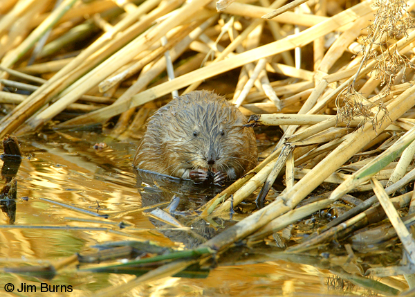 Common Muskrat at lunch