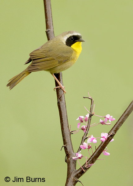 Common Yellowthroat male in Redbud