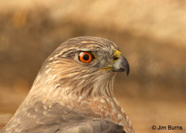 Cooper's Hawk adult female head shot