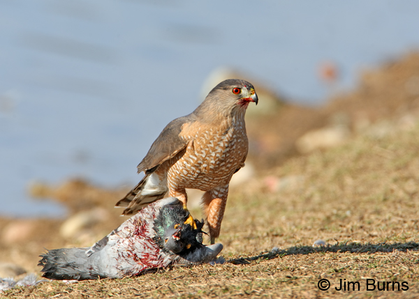 Cooper's Hawk adult with Rock Pigeon