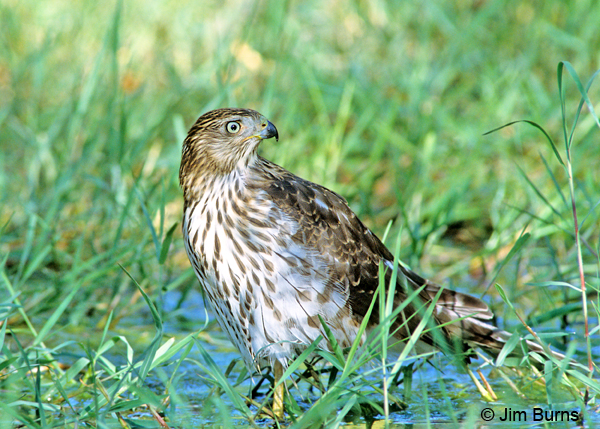 Cooper's Hawk juvenile bathing