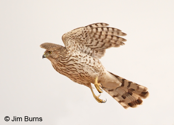 Cooper's Hawk juvenile in flight