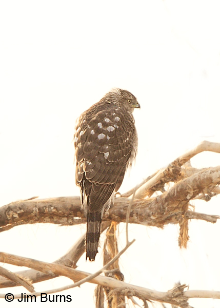 Cooper's Hawk juvenile on white sky