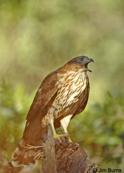 Cooper's Hawk juvenile with Mexican Jay