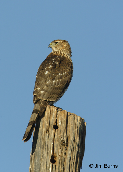Cooper's Hawk juvenile on post