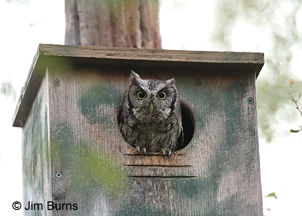 Eastern Screech-Owl at home